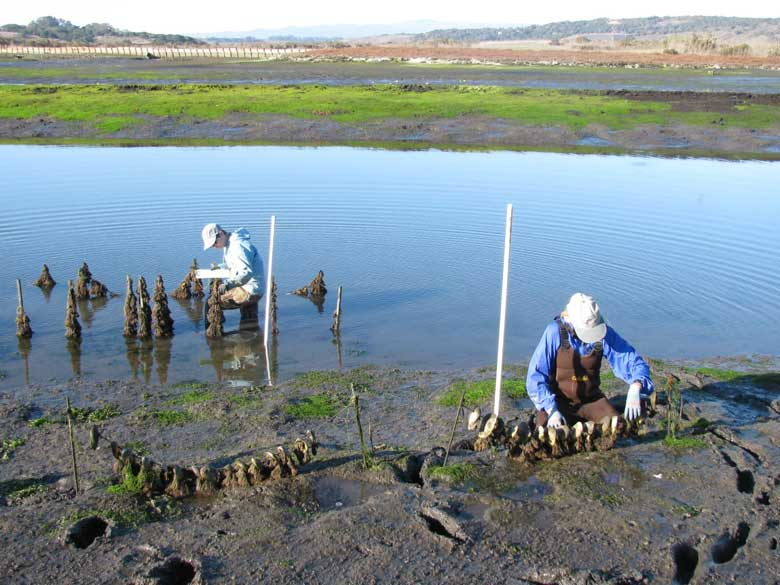 Olympia Oyster Elkhorn Slough Research