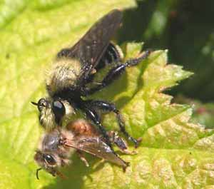 Robber fly bumblebee