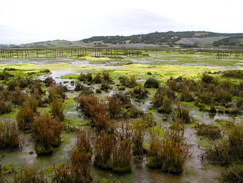 Elkhorn Slough Research : Elkhorn Slough Salt Marsh Restoration