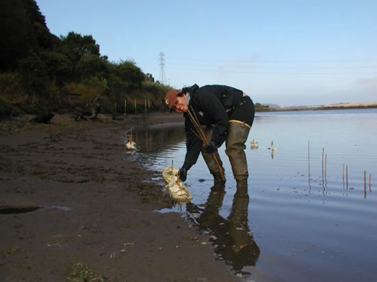 Oyster Research at Elkhorn Slough