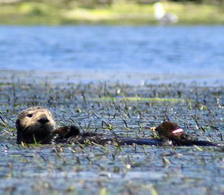 Eelgrass beds in Elkhorn Slough benefit from the presence of sea otters.