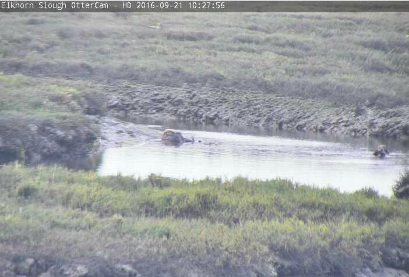 Elkhorn Slough OtterCam