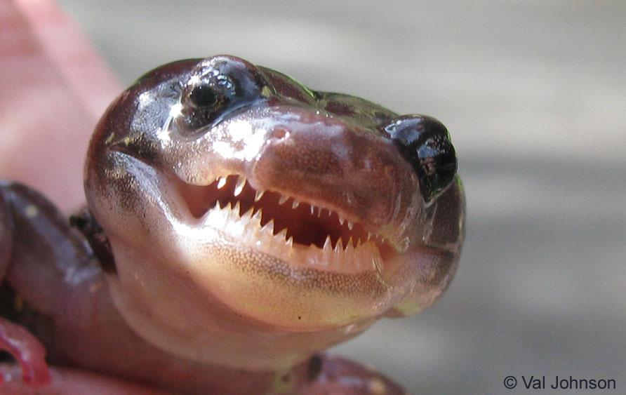 Arboreal Salamander – Elkhorn Slough